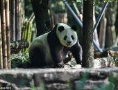 """""""دبلوماسية الباندا"""".. الصين تستعيد دببة من أمريكا بعد 23 عاما.. صور"""