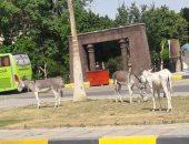 قارئ يشكو من وجود حيوانات بصورة غير حضارية أمام حديقة العقاد السياحية بأسوان