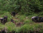صور.. دراسة جديدة توضح قدرات الشمبانزى من غير ما يحتاج حد يعلمه