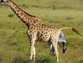 علماء : زرافات الماساي في إفريقيا تواجه خطر الانقراض
