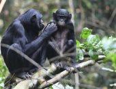دراسة تكشف: والدة حيوان البونوبو تساعده فى إيجاد رفيقة حياته
