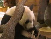"""""""بتمص قصب"""".. شاهد باندا صينية عملاقة بحديقة شونبرون فى """"فيينا"""""""