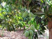 مزارع يطالب بمكافحة جماعية لذبابة الفاكهة لحماية الأراضى الزراعية بالشرقية