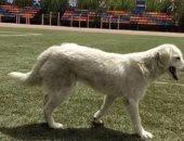 فى مشهد مذهل.. كلب يقتحم سباق جرى فى جامعة فى الصين ويحل فى المركز الثالث