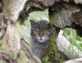 لتصحيح أخطاء الماضى.. عودة القط الإنجليزى بعد 150 سنة من انقراضه.. اعرف القصة