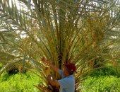 تسليم وتجهيز 12 ألف فدان لإقامة مزارع نخيل ببلاط ضمن مبادرة 2.5 مليون نخلة