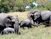 علماء يحذرون: الأفيال ما زالت فى خطر رغم تراجع الصيد الجائر فى الصين