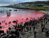 البحر بقى لونه أحمر.. شاهد عملية ذبح الحيتان بجزيرة دنماركية.. صور