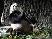 حياة الباندا والنمر الأبيض وإنسان الغابة فى حديقة Pairi Daiza البلجيكية