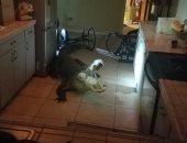 أثقل ضيف فى الدنيا.. تمساح يقتحم منزل فى فلوريدا والشرطة تقبض عليه.. صور