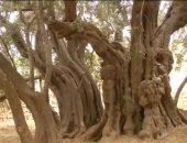 تبلغ عمرها 5500 عاما.. شاهد شجرة الزيتون الأقدم فى العالم بالضفة