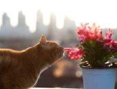 القارئ أحمد محمد جبر يكتب: الحقيقة وراء انتقال الكورونا من القطط للبشر