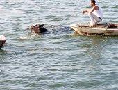 صور ..أهالى دمياط ينقذون بقرة من الغرق فى مياه النيل