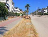 """صور.. اضبط مخالفة.. """"قطيع خرفان العرب"""" تحتل شوارع رأس البر"""