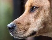 الخدمات البيطرية: 2512 كلبا محصنا واستخراج 2350 رخصة بمديريات الطب البيطرى