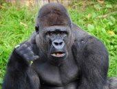 غوريلا تبتلع 8.6 مليون نيرة فى حديقة حيوان بنيجيريا