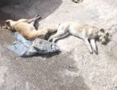 شكوى من انتشار الكلاب الضالة بشوارع بشتيل