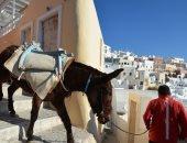 اليونان تواجه انتقادات حادة لمعاملة الحمير بقسوة فى جزيرة سانتورينى