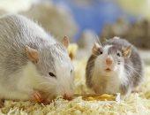 بتحس بعرق وخوف من الفأر.. اعرف سبب فوبيا الفئران وعلاجها