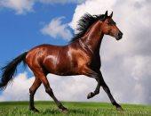الحصان العربى يكسب.. لو غاوى خيل اعرف أجمل 5 أنواع فى العالم وأسعارهم