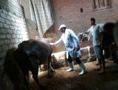 بيطري القليوبية: تحصين 85 ألف رأس ماشية ضد مرض الحمي القلاعية والوادي المتصدع