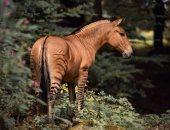 صور .. حيوان الـ zorse هجين بين الحمار الوحشى والحصان