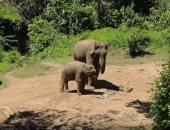 """فيديو.. 800 فيل مهدد بالانقراض فى """"لاوس"""" خلال 30 عاما"""