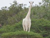 سعادة فى محمية طبيعية بـ كينيا بسبب حمل زرافة بيضاء نادرة