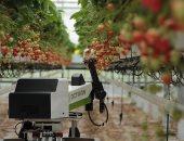 صور.. روبوت جديد يمكنه التقاط وفرز وتعبئة الفراولة.. اعرف التفاصيل