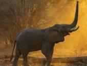 الجفاف خلى الفيل يطير.. فيل يقفز لتناول طعامه من شجرة عالية.. فيديو
