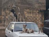قارئة تشكو من انتشار الكلاب الضالة فى شارع الملكة بفيصل
