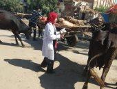 تحصين 6382 رأس ماشية ضد الحمى القلاعية بالمنيا