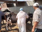 الزراعة: تحصين 700 ألف رأس ماشية ضد مرض الحمى القلاعية بـ24 محافظة