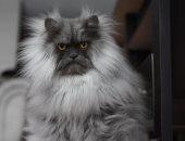 """القط الغضبان """"Juno"""" يشعل موقع انستجرام بسبب صوره"""