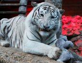 نمور بيضاء ودببة فى حديقة حيوانات رويف روشى بروسيا