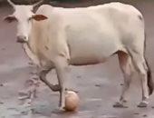 شاهد.. مهارات بقرة تلعب كرة القدم مع الأطفال فى الهند