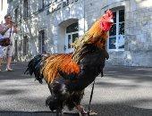 ياما فى الحبس طيور.. ديك ينتظر الحكم عليه بسبب إزعاج الجيران بفرنسا