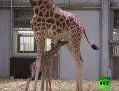 شاهد.. فرحة عارمة بحديقة حيوان باريس بعد الولادة الناجحة لإحدى الزرافات