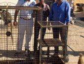 صور.. ضبط 5 نسانيس سودانية مهددة بالانقراض قبل بيعها شرق الإسكندرية