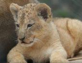 شاهد..  حديقة حيوانات تشيكية تعرض شبلين لسلالة أسود نادرة