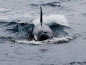 صور.. صياد يابانى يحول نشاطه إلى تنظيم رحلات لمشاهدة الحيتان