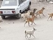 انتشار الكلاب الضالة بمنطقة 247 عمارة بحدائق أكتوبر