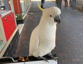 ببغاء يتسبب فى إزالة نظام ذكى لمكافحة الطيور أعلى أحد المبانى بأستراليا