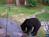 شاهد.. كلب يتغلب على دب شارد ويطرده من حديقة المنزل