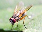 هل تشعر الحشرات بالألم المزمن؟ تقنية ذكية تكشف