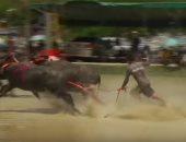 """""""ماراثون طريف"""".. شاهد سباق جواميس غير مألوف بتايلاند"""