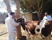 تحصين 22 ألف رأس ماشية فى الحملة القومية ببنى سويف