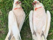 فيلم رعب.. سقوط طيور نافقة من السماء فى أستراليا