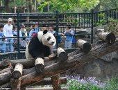 """""""كان عاوز يصحيها"""".. القبض على سائح رمى الباندا بصخرة فى الصين"""