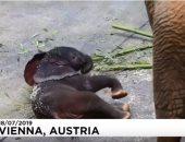 """شاهد.. حديقة حيوانات فيينا تكشف عن """"فيل التلقيح الصناعى"""""""